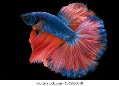 Beautiful movement of blue red Betta fish, Siamese fighting fish, Betta splendens of Thailand isolated on black background.