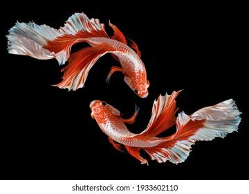 Beautiful movement of red betta fish, Two Fancy Halfmoon Betta, The moving moment beautiful of Siamese Fighting fish, Betta splendens, Rhythmic of Betta fish isolated on black background.