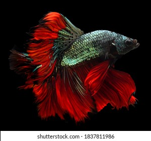 Beautiful movement of red blue Betta fish, Siamese fighting fish, Betta splendens of Thailand, isolated on black background.