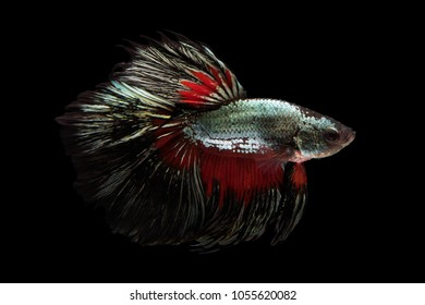 Beautiful movement of Siamese Fighting Fish or Halfmoon Betta on a black background.