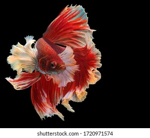 Beautiful movement of Siamese fighting fish, Rhythmic of red betta fish, betta splendens (Halfmoon red dragon betta ), isolated on black background.