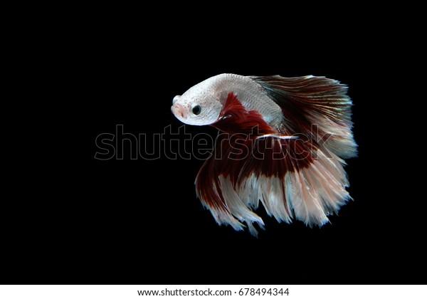 Beautiful movement of Siamese Fighting Fish (Halfmoon Betta) on a black background.