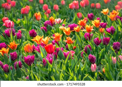 Beautiful mulitcolor flowerbed with purple, red and yellow tulips in bright sunshine