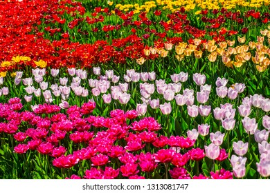 Beautiful multi color tulips background with selective focus. Spring flowers background