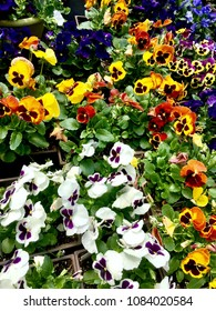 Beautiful multi colored flowers, pansies,  soaking up the sun.