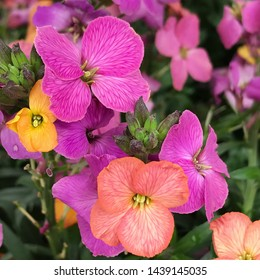 Beautiful multi colored hybrid erysimum wallflowers in pink purple and orange colors. This variety of flower will bloom for months.