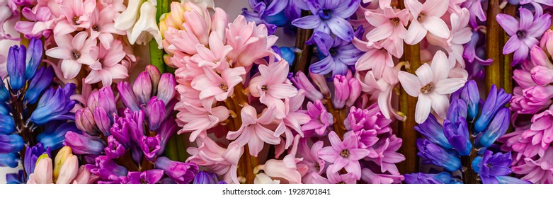 Beautiful Multicolor hyacinth flowers, banner. Spring hyacinths blossom. Multicolored mixed blooms of Hyacinth Orientalis, banner