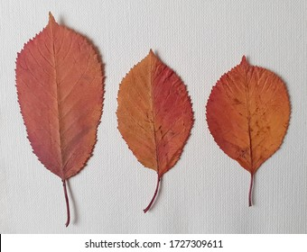 The beautiful multi-colored autumn leaves of the cherry tree are set against a white background, which is a very good picture for making an autumn accent.