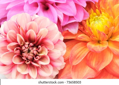 Beautiful Multicolored Dahlias Close-up