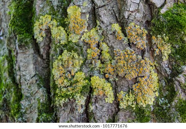 Beautiful Multicolored Lichen On Tree Bark Stock Photo Edit Now