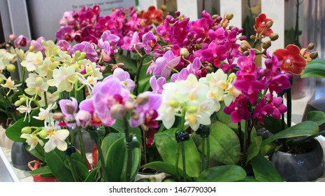 Beautiful multicolored mini phalaenopsis orchid in flower pots. Сolorful Orchid flowers in pots at a flower show