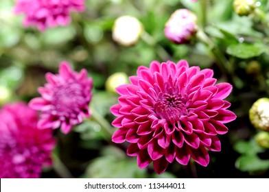 beautiful mum flower in garden