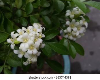 Beautiful Murraya paniculata flowers