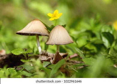 Beautiful mushrooms in the forest with a yellow flower behind. Mushroom in the grass. Beautiful nature.