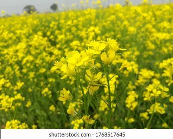 Beautiful mustard flowers field in India.