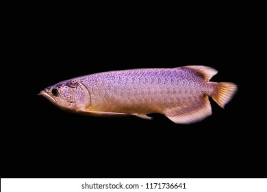 A beautiful Myanmar arowana, Scleropages inscriptus on isolated black background. it is a new species of arowana, part of the popular group of dragonfish, from Tananthayi River basin ,Myanmar.