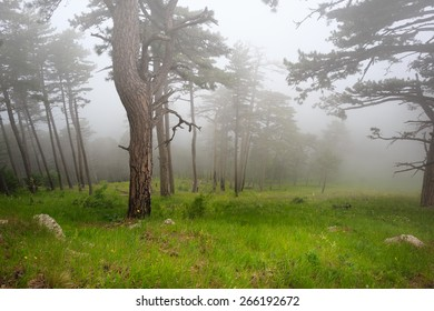 Beautiful mysterious foggy forest under dull sky with green grass on the ground
