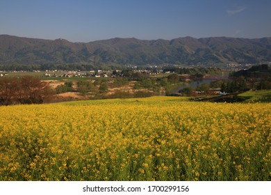 Beautiful Nanohana or Canola yellow flower fields in Japan