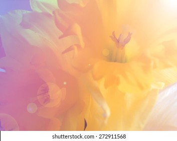beautiful narcissus flower plants close up with blurred effect, sun rays and filtered gradient pink and yellow overlay. Instagram style