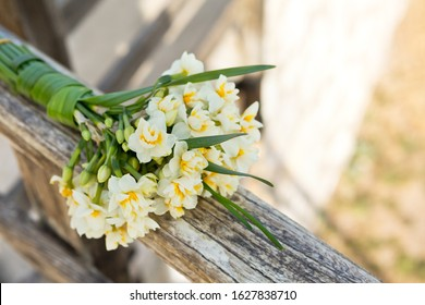 Beautiful narcissus flowers from Karaburun,İzmir. This flower also known as daffodil, daffadowndilly, narcissus, and jonquil.