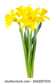 Beautiful narcissus (Narzissen, Narcissus, Amaryllidaceae) isolated on white background, inclusive clipping path.