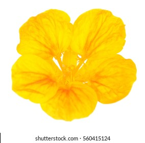 beautiful nasturtium flower isolated on white background
