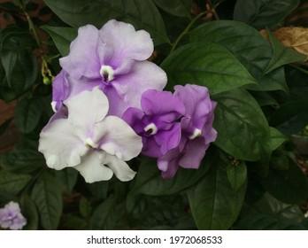 Beautiful national flower of Paraguay. Brunfelsia Pauciflora