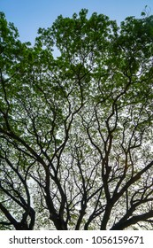Beautiful natural abstract silhouette pattern of giant raintree branches with fresh green leaves and blue sky background, Chiangmai, Thailand