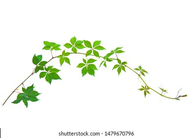 a beautiful natural background branch of Parthenocissus quinquefolia, Virginia Victoria creeper, five-leaved ivy, or five-finger green plant climbing vine climber growing vertically isolated on white