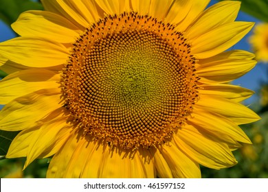 Beautiful natural background with bright yellow flower of a sunflower closeup in sunlight