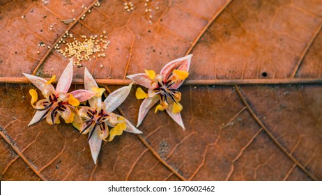 Beautiful natural flower of cocoa fruit at harvest time