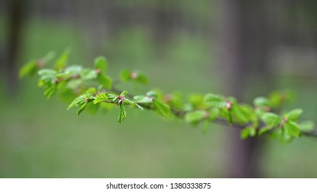 Beautiful natural green background from forest with spring tree twig.