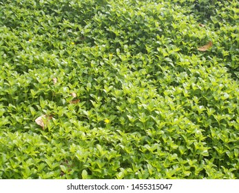 Beautiful natural greeny plant background  in Malampuzha Garden