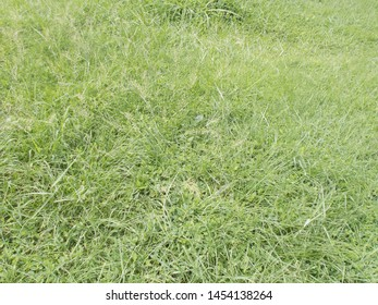 Beautiful natural greeny scutch grass background  in malampuzha garden kerala