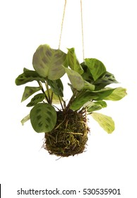 Beautiful and natural hanging plant, very green and decorative of any space. Covered with moss to conserve the roots, we preserve nature with our hands. Kokedama Technique.