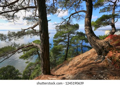 Beautiful natural landscape with pine trees on a slope on the Black Sea coast