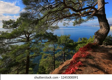 Beautiful natural landscape with pine trees and red leaves against the background of the sea