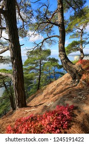 Beautiful natural landscape. Pines and bushes of red skumpiya on the background of the sea