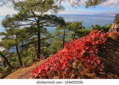 Beautiful natural landscape. Red leaves of skumpii, green pines and blue sea