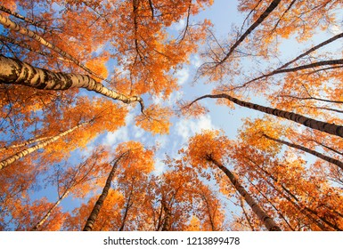 beautiful natural landscape with a view from the bottom to the trunks and tops of birch trees with Golden bright orange autumn foliage against the blue sky