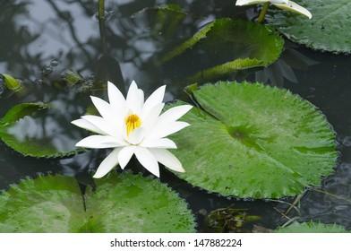 Beautiful natural lotus in the pond