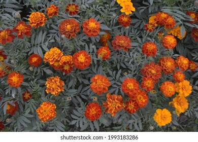Beautiful natural Marigold flower yeallow.