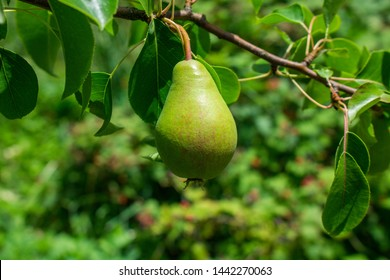 Beautiful natural pears weigh on a pear tree, twigs and leaves. Healthy Organic Pears. Juicy flavorful pears of nature background. Pear on a branch. A pear on a tree (growing). Ripen Pears on the Tree