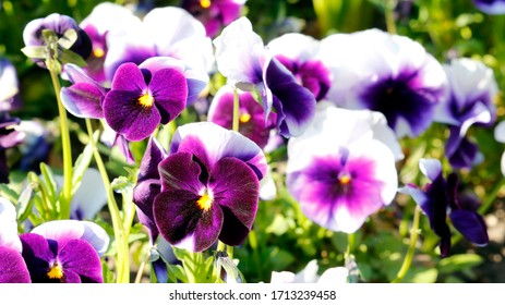 beautiful natural purple and violet flowers,
