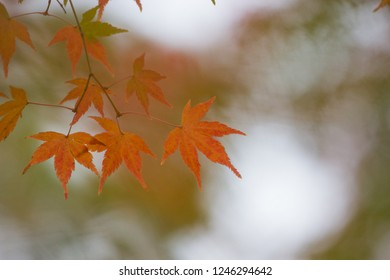 Beautiful natural red autumn leaves during sunset and bokeh background. Nara park. Japan.