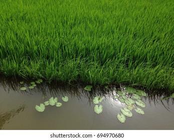 Beautiful natural rice field