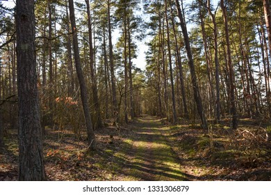 Beautiful natural trail in a pine tree forest by springtime