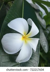 Beautiful natural white plumeria decoration on green leaf background