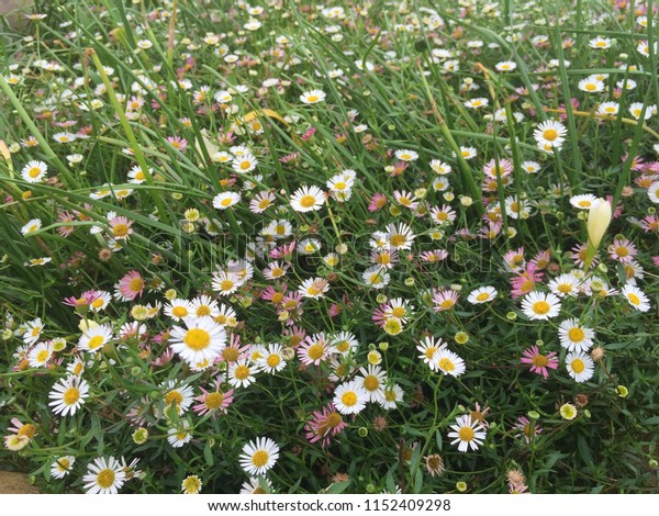 Beautiful natural white yellow daisy field in the summer time