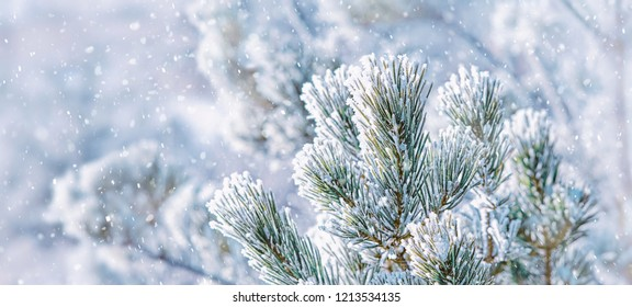 beautiful natural winter background. pine tree branches covered with snow. Frozen tree branch in winter forest. first snow.  winter banner background. long banner